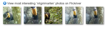 View most interesting 'nilgirimarten' photos on Flickriver