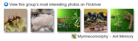 Myrmecomorphy - ant mimicry - View this group's most interesting photos on Flickriver